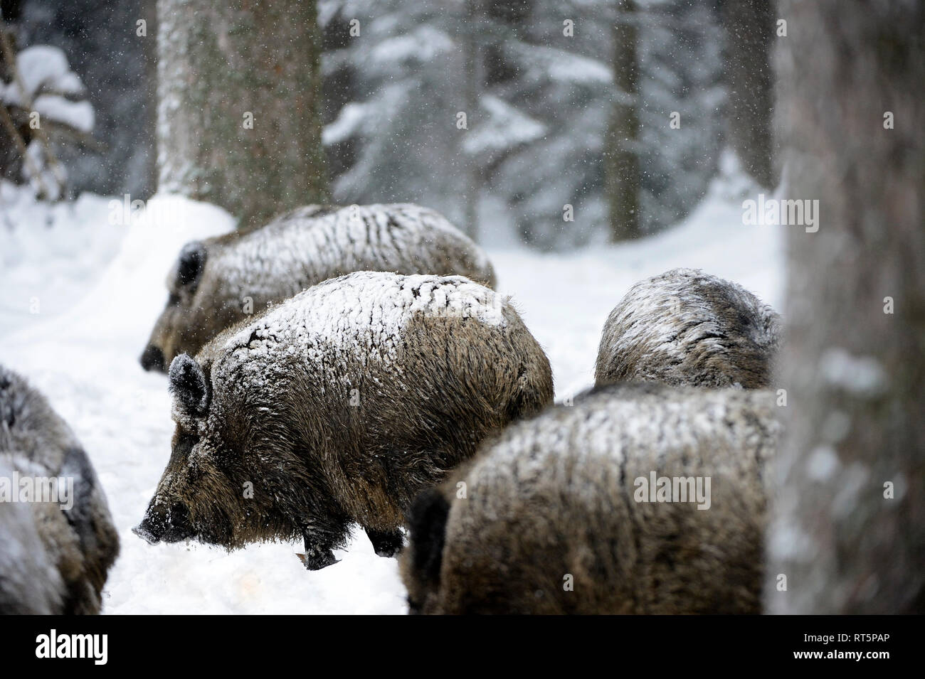 Wild boar, Sus scrofa scrofa, sow, making a mess, wild boars, black game, black smock, cloven-hoofed animal, pigs, pig, vertebrates, mammals, real pig Stock Photo