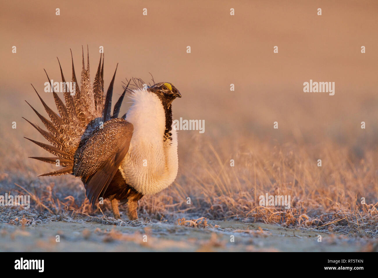 Greater Sage-grouse - a male performing its mating display on the lek (breeding grounds) - Stock Image