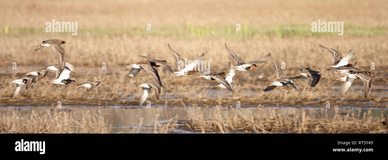 12/5000 ruffs are migratory birds - Stock Image
