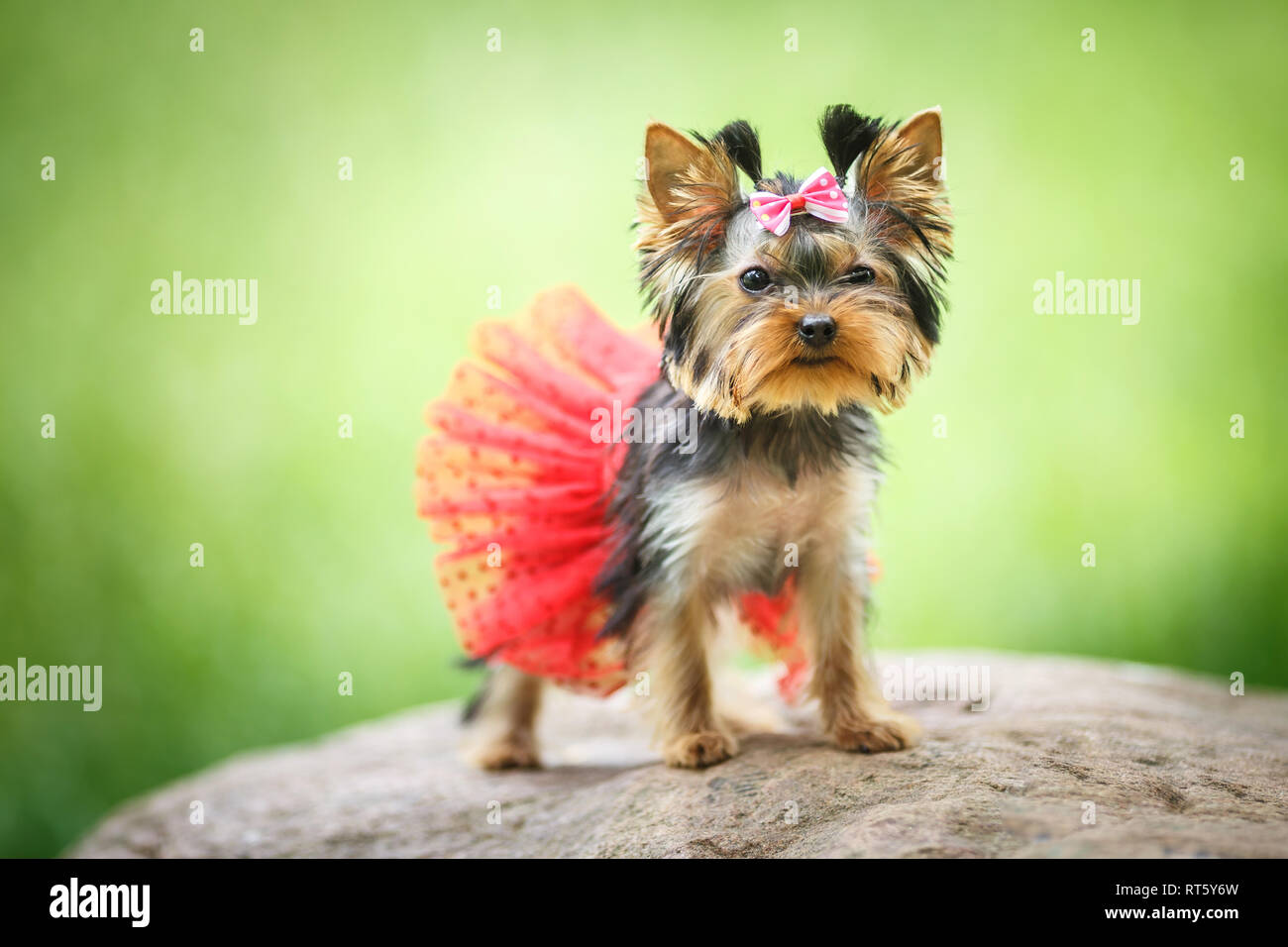 Lovely puppy of female Yorkshire Terrier small dog with red skirt on green blurred background - Stock Image