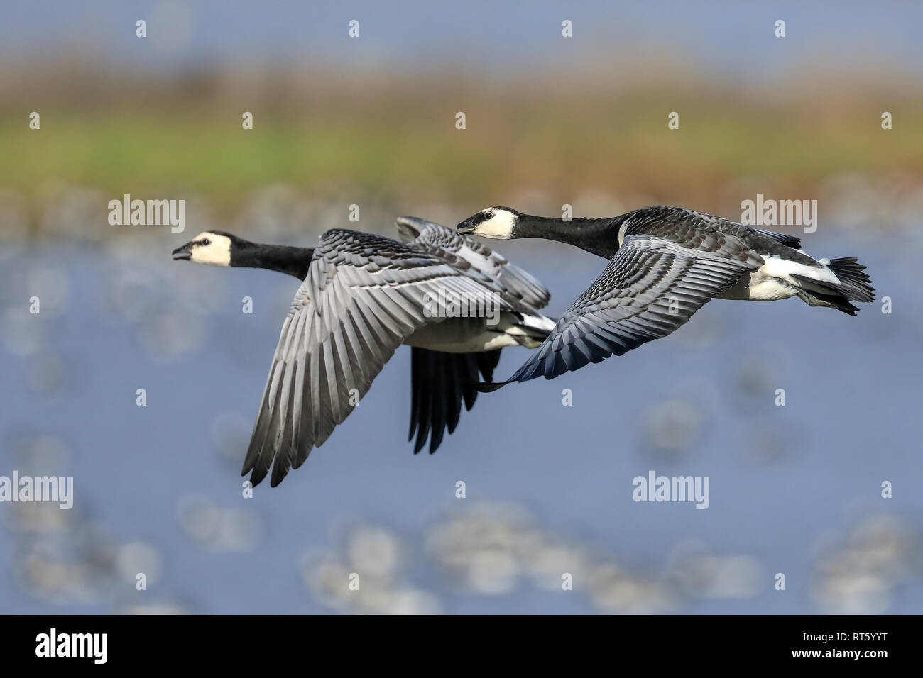 barnacle goose is migratory bird - Stock Image