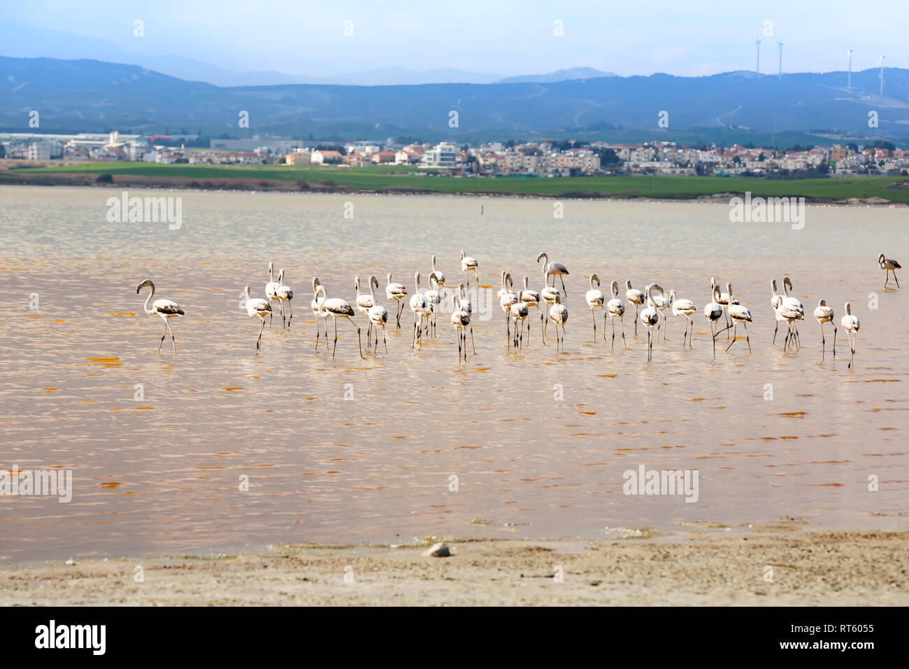 Group of flamingos at the Salk lake in Larnaca, Cyprus. Stock Photo