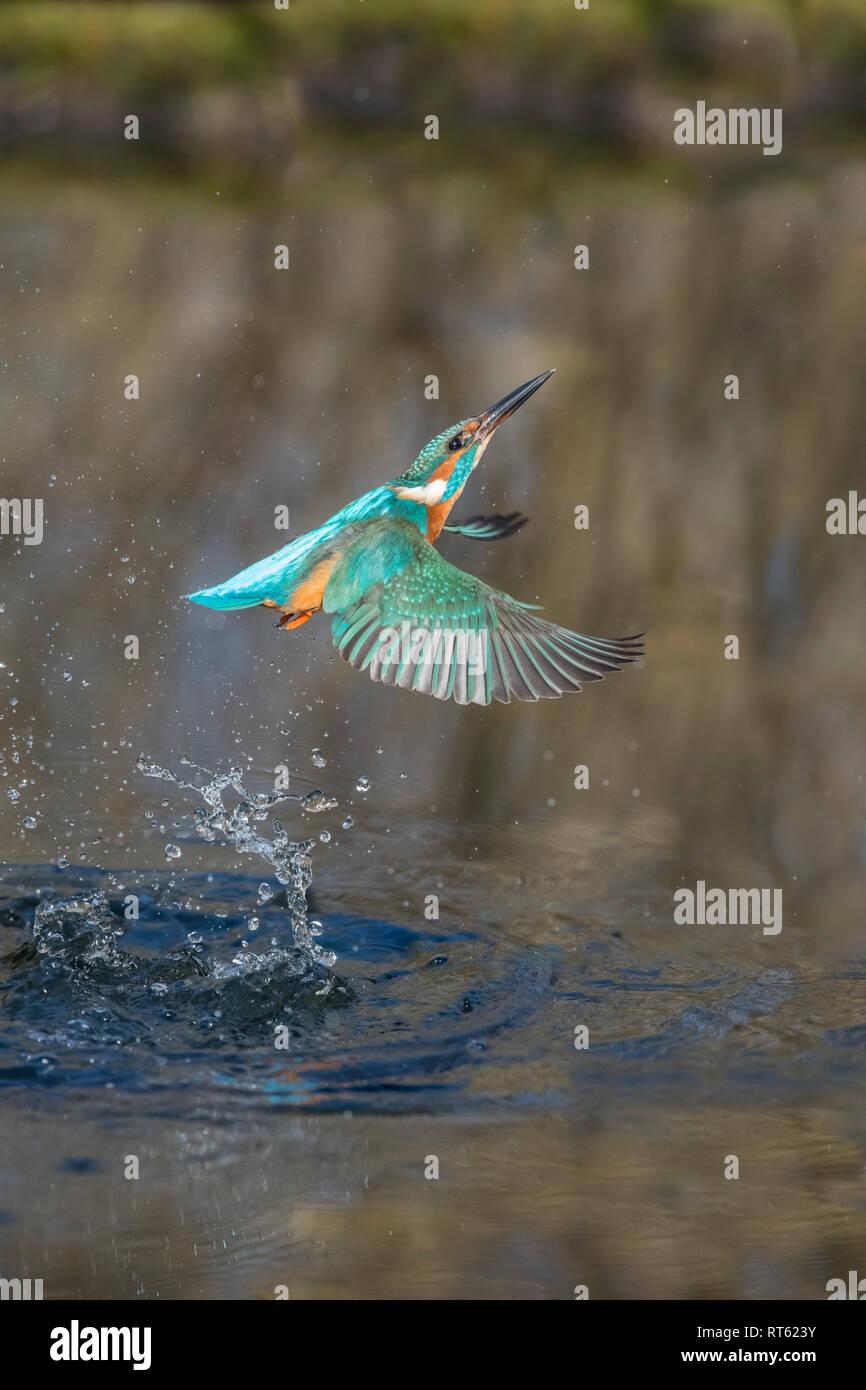 Eisvogel, Alcedo atthis, European Common Kingfisher - Stock Image