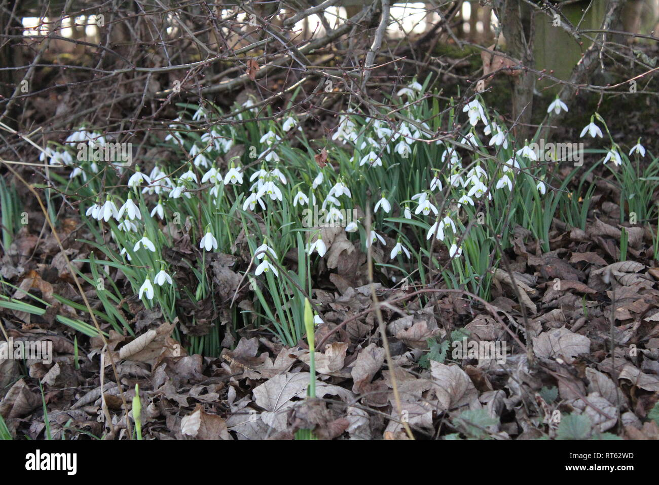Beer can thrown ,discarded  in clump of snow drops in British countryside - Stock Image