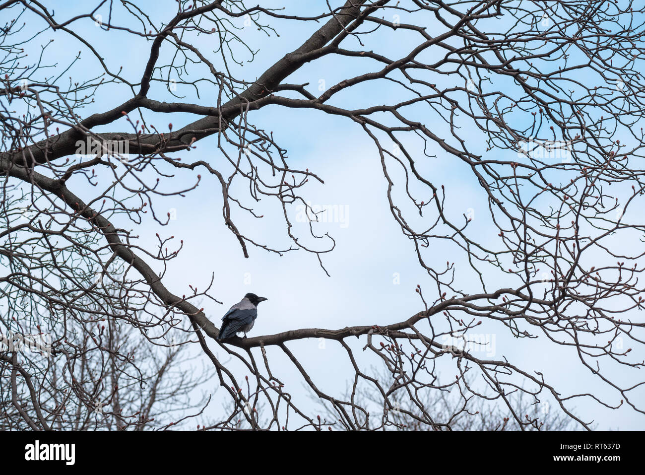 crow sits on a beautiful picturesque branchless tree without leaves dot autumn-winter landscape - Stock Image
