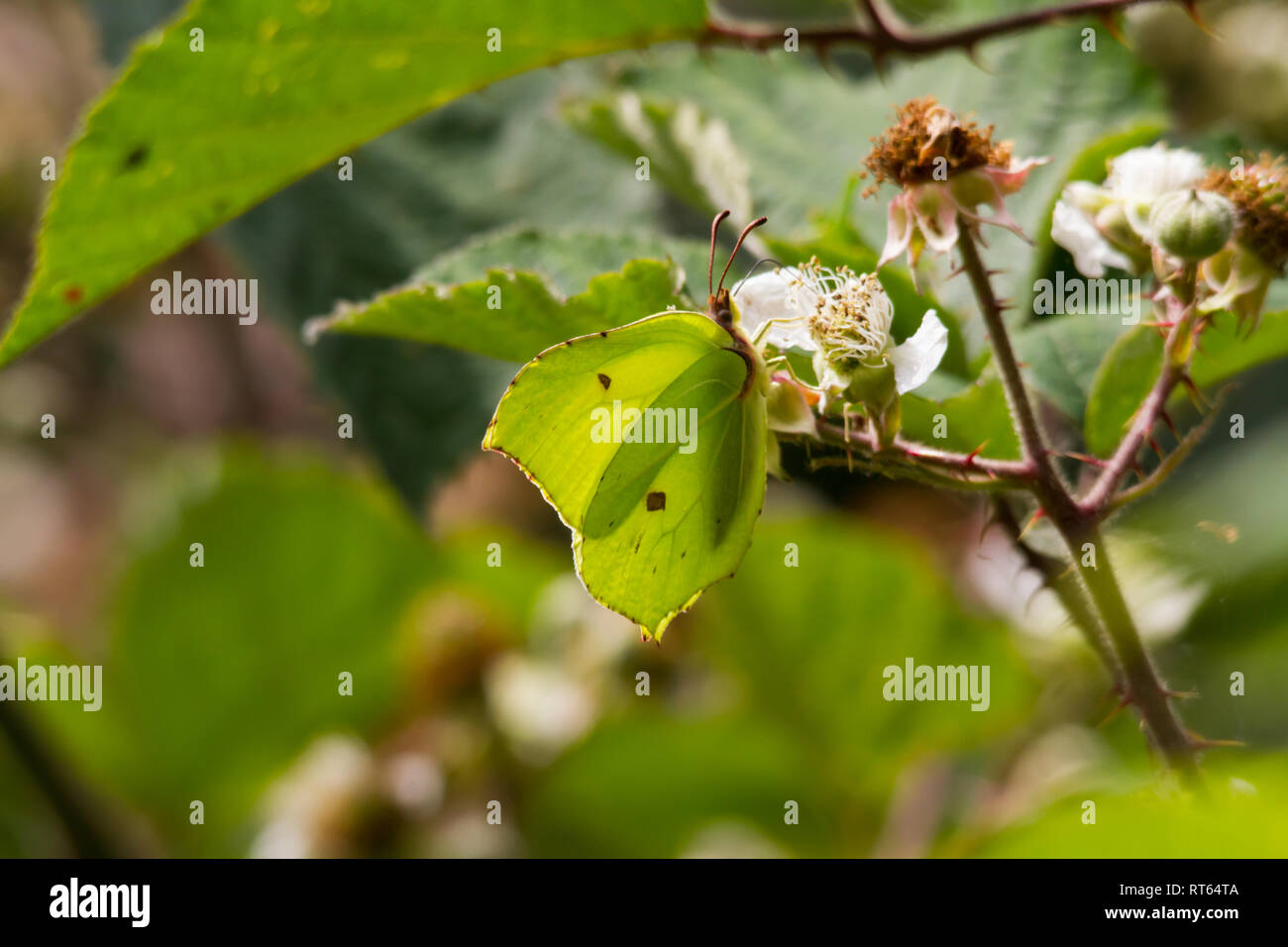 Brimstone Butterfly (Gonepteryx rhamni) feeding on a bramble bush. Stock Photo