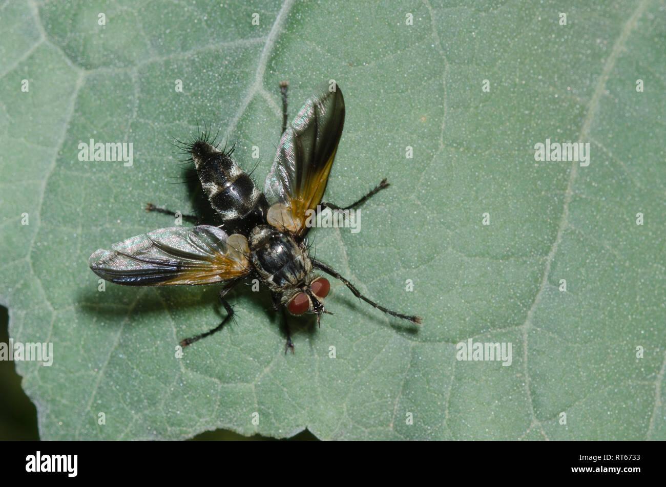 Tachinid Fly, Uramya indita, male Stock Photo