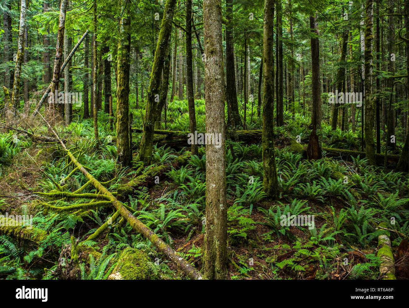 A forest scene in the Cascades of Western Washington State, USA. The Little (or Lil) Si Trail. - Stock Image