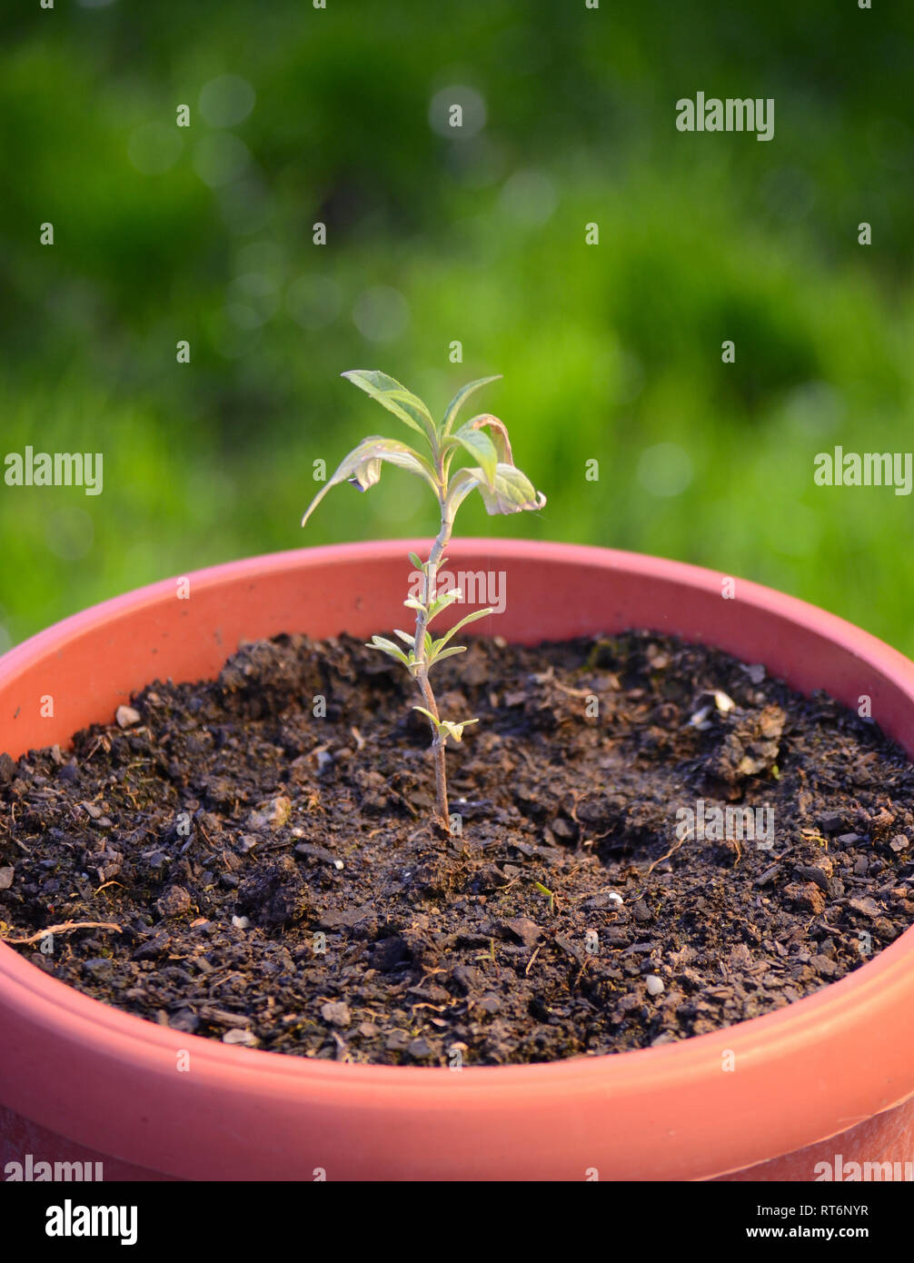 Plant in a pot full of soil - Stock Image