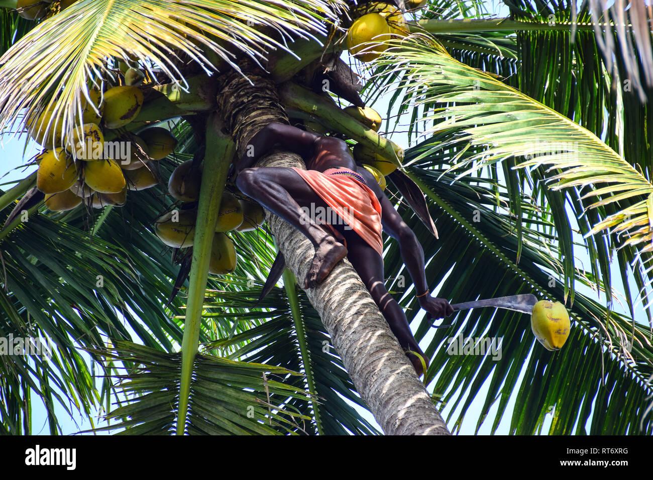 Toddy Tapping, Coconut Tree, Varkala, Kerala, India Stock Photo