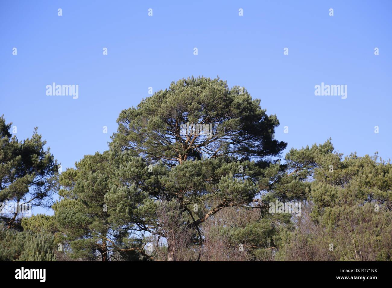 Bushy tree tops - Stock Image