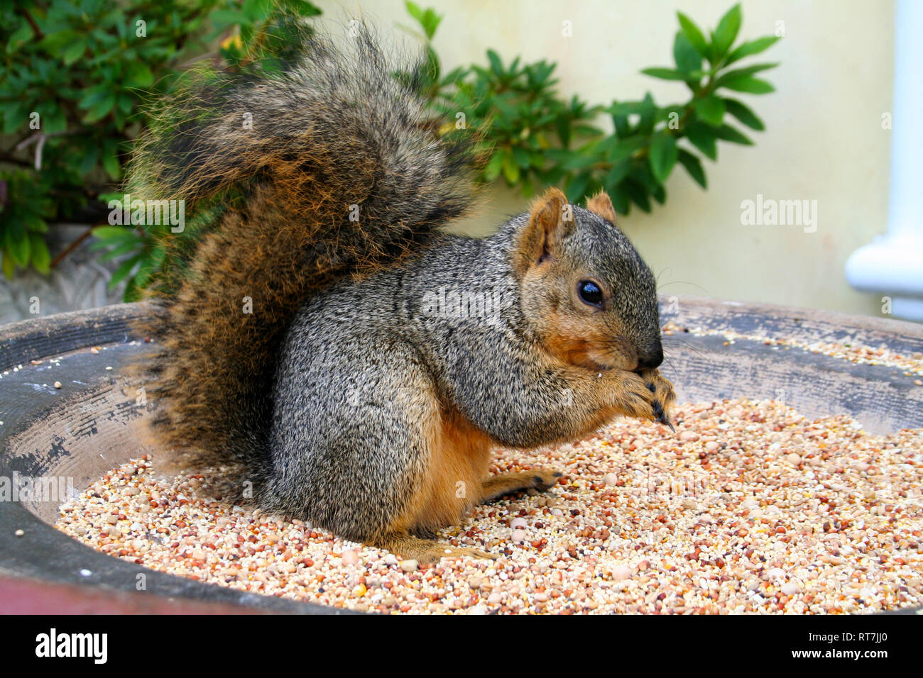 Little squirrel eating its nuts in Venice Beach, California - Stock Image