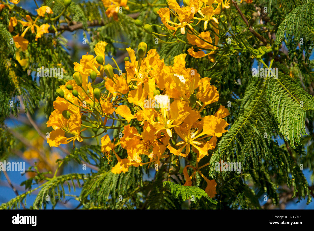 Cluster of vivid yellow flowers and bright green leaves of Delonix regia var. flavida, unusual yellow flowering variety of poinciana tree - Stock Image