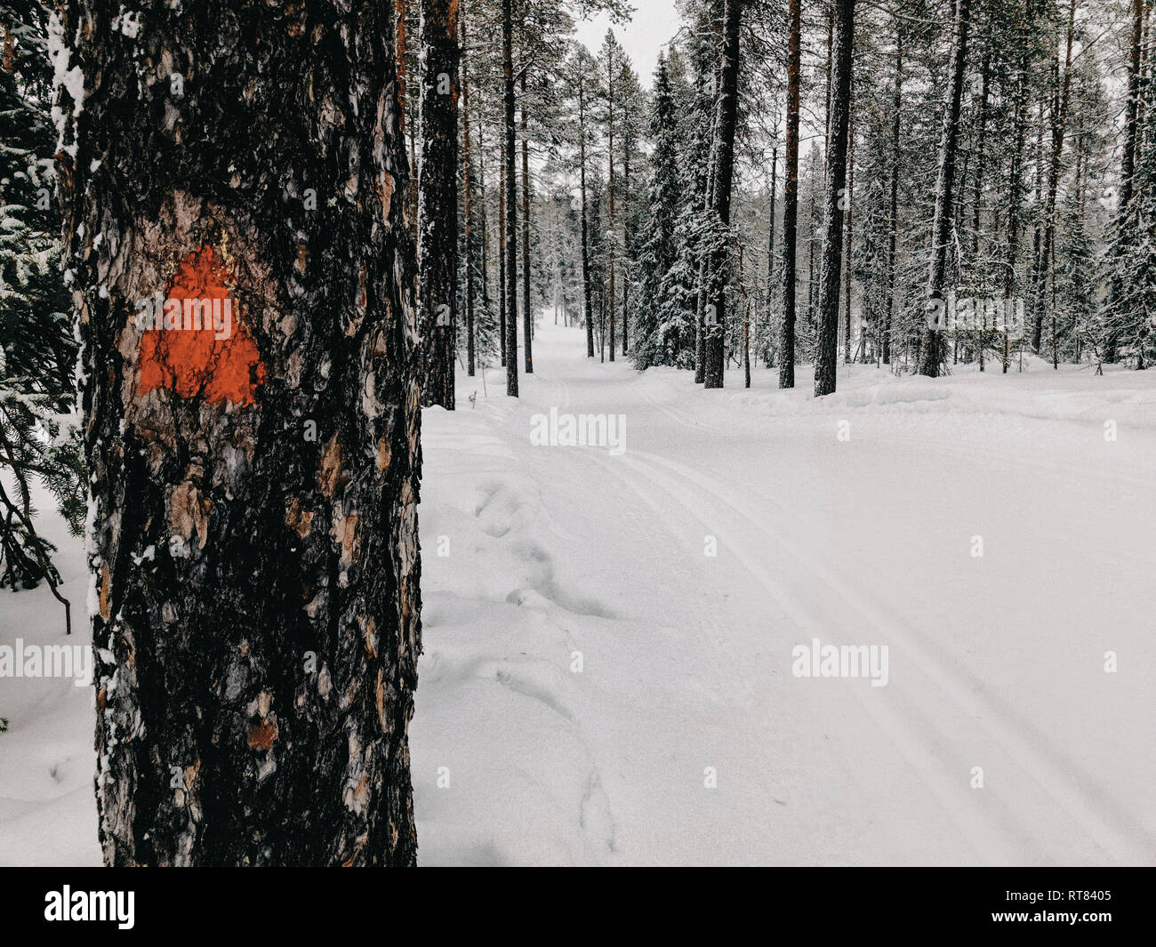 Finland, Lapland, Cross-County Ski Run in Forest - Stock Image