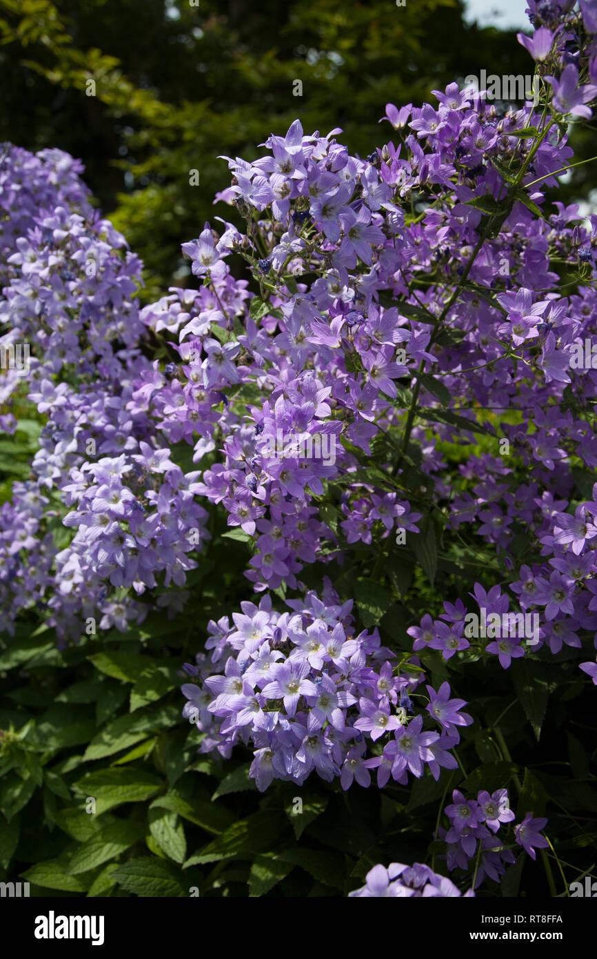 Bush With Small Purple Flowers On It In An English Garden In The Summertime Stock Photo Alamy
