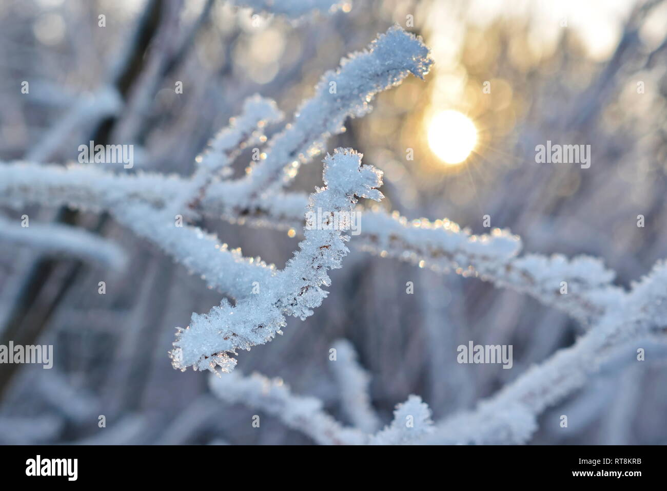 Delicate frost crystals growing on twigs are illuminated by the golden light of the low winter sun on a cold day in northern Sweden. Stock Photo