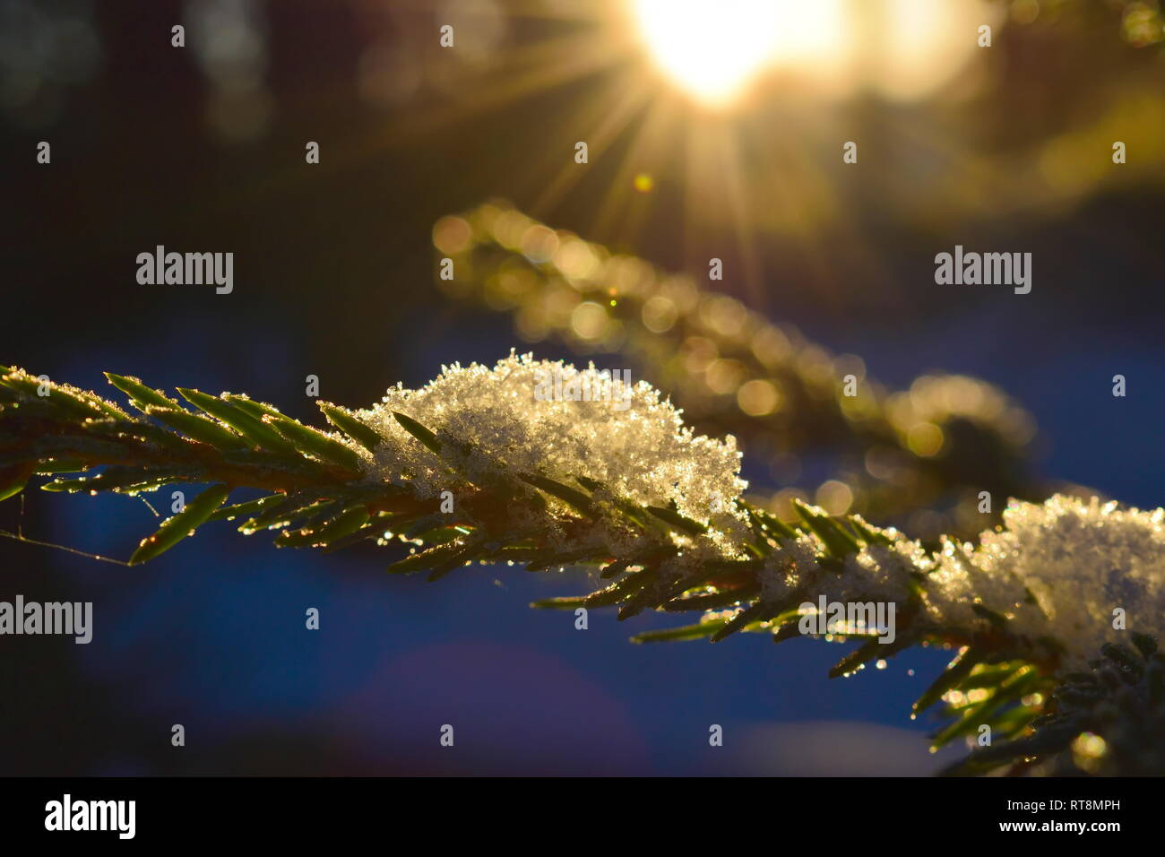 Close up of snowflakes resting on a spruce twig, illuminated by the low golden winter sun in northern Sweden. Stock Photo