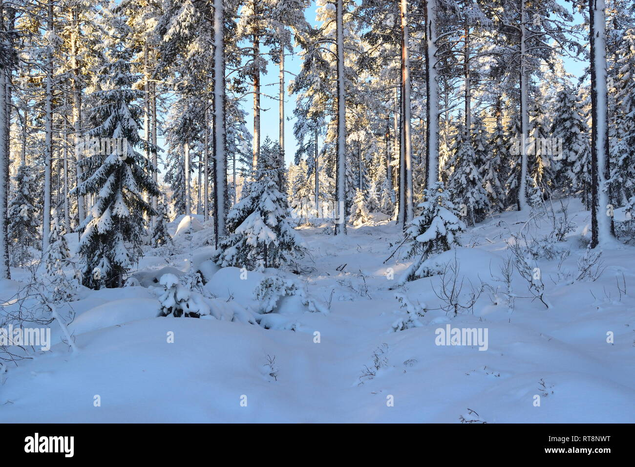Thick snow is covering the trees in a softwood forest on a cold and sunny winter day. Stock Photo