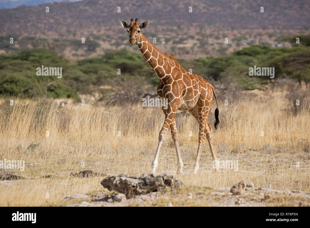 Reticulated or Somali giraffe, Giraffa camelopardalis reticulata, in semi-arid grassland, Buffalo Springs National Reserve, Kenya Stock Photo