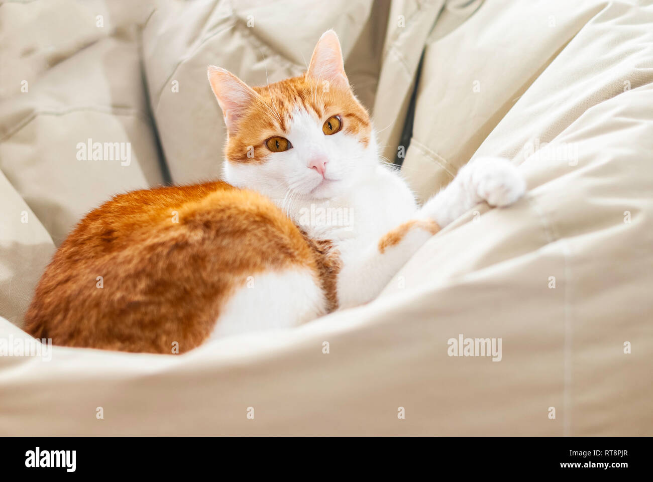 Yellow white domestic cat looking in camera lying on lazy bag- Shallow depth of field close up direct shot of domestic cat - Focus on eyes - Stock Image