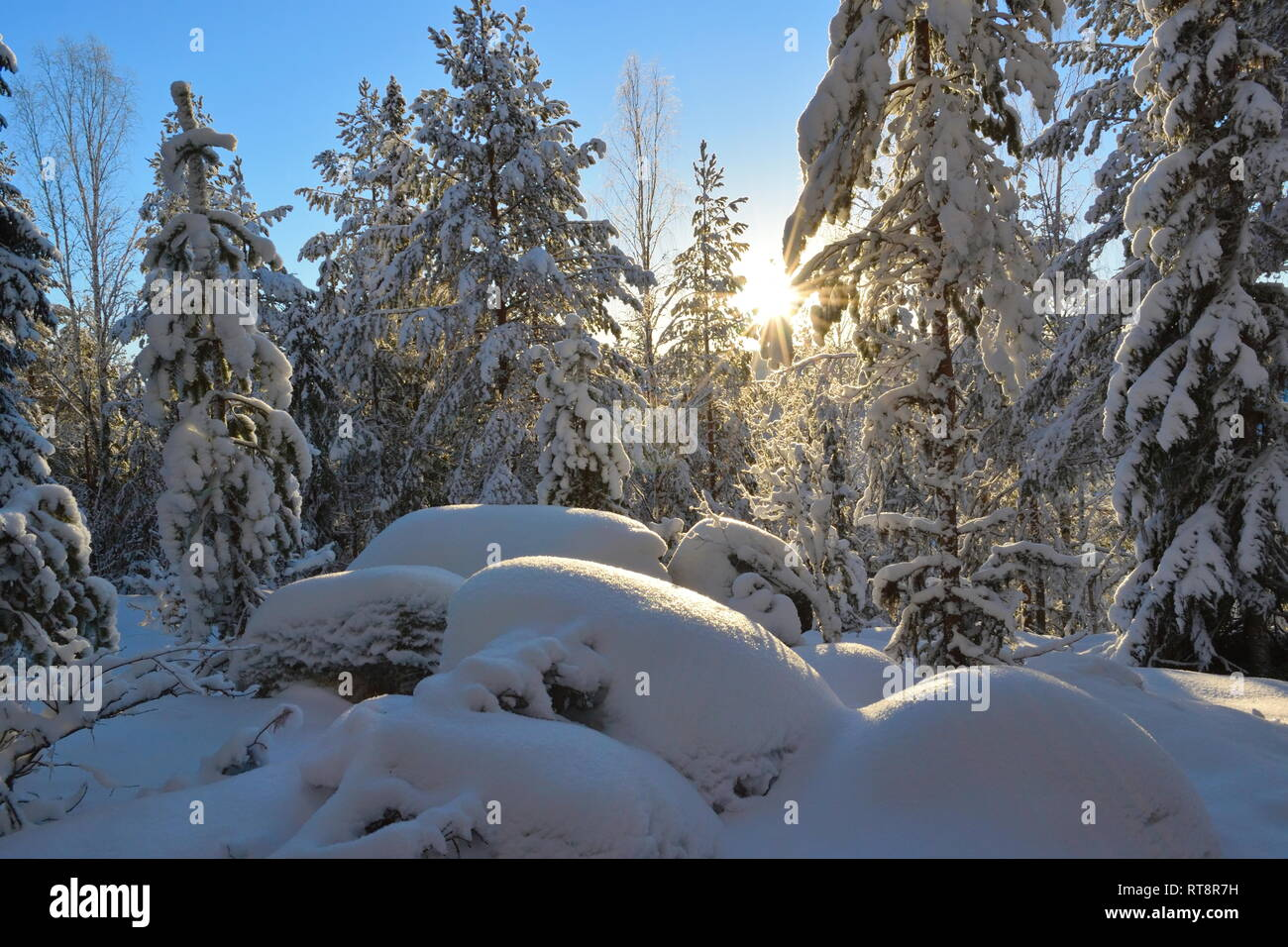 The low golden winter sun is shining through the snow-covered trees in a softwood forest. Stock Photo