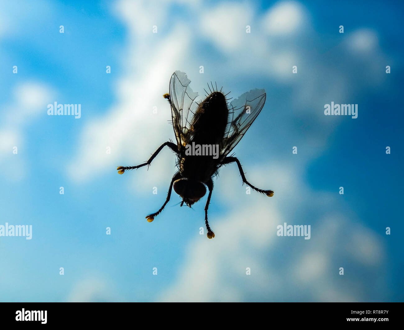 House fly close up macro - Domestic fly on window against sky - Shallow depth of field shot of live house fly - Stock Image