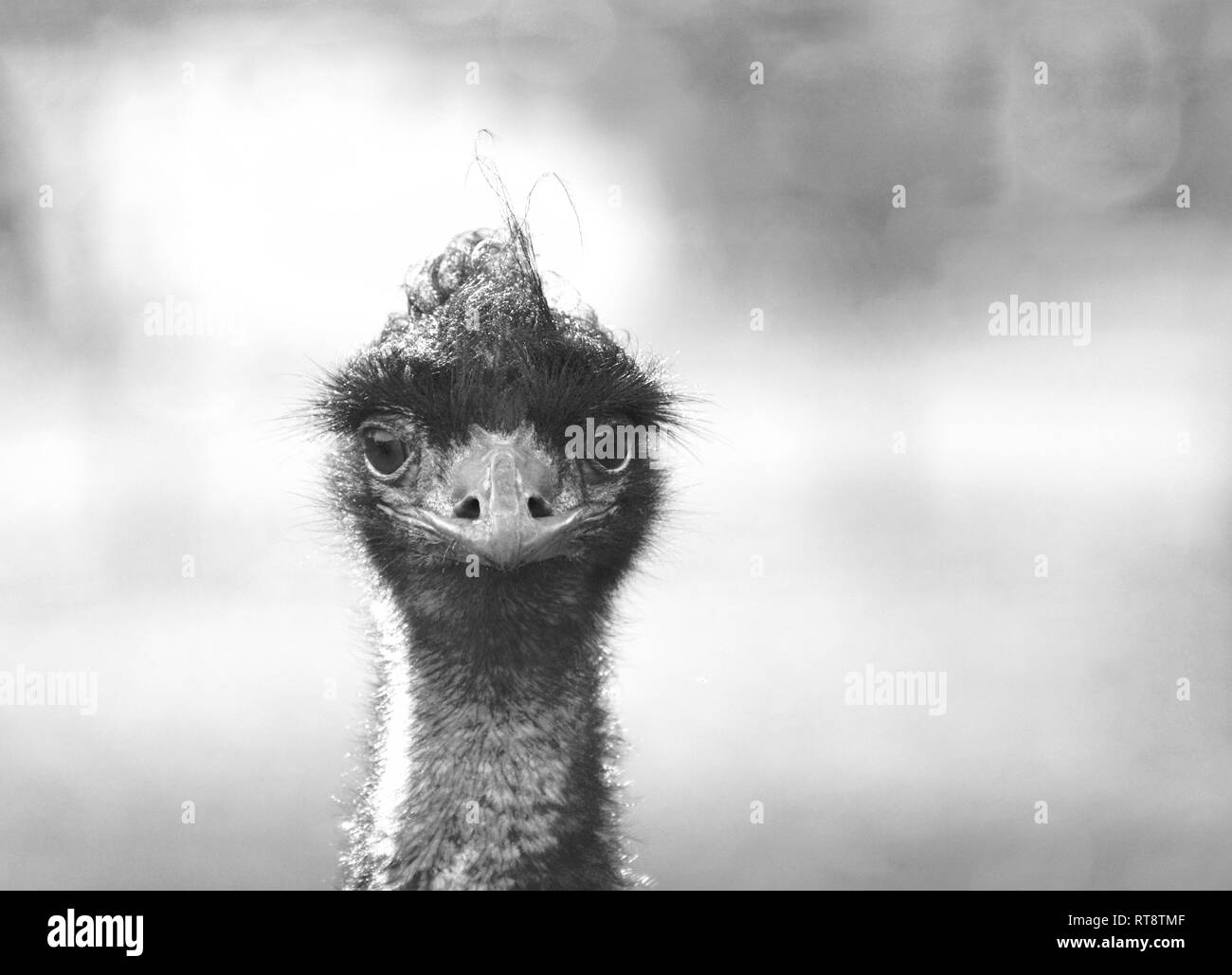 Emu Portrait (close up head and face with direct eye contact) - Stock Image