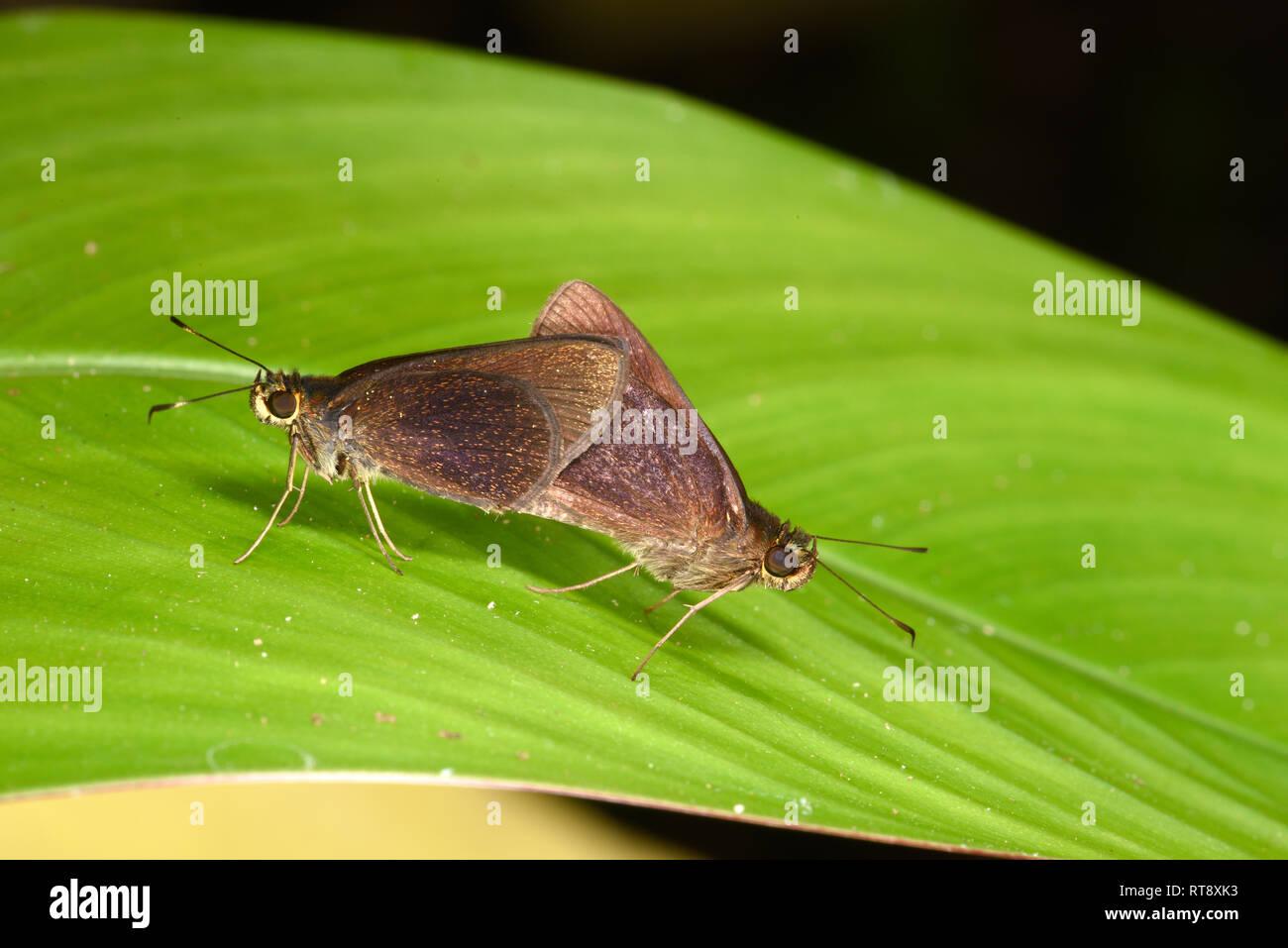 Velada Skipper Butterfly (Eprius velada) pair mating on leaf, Soberania National Park, Panama, October Stock Photo