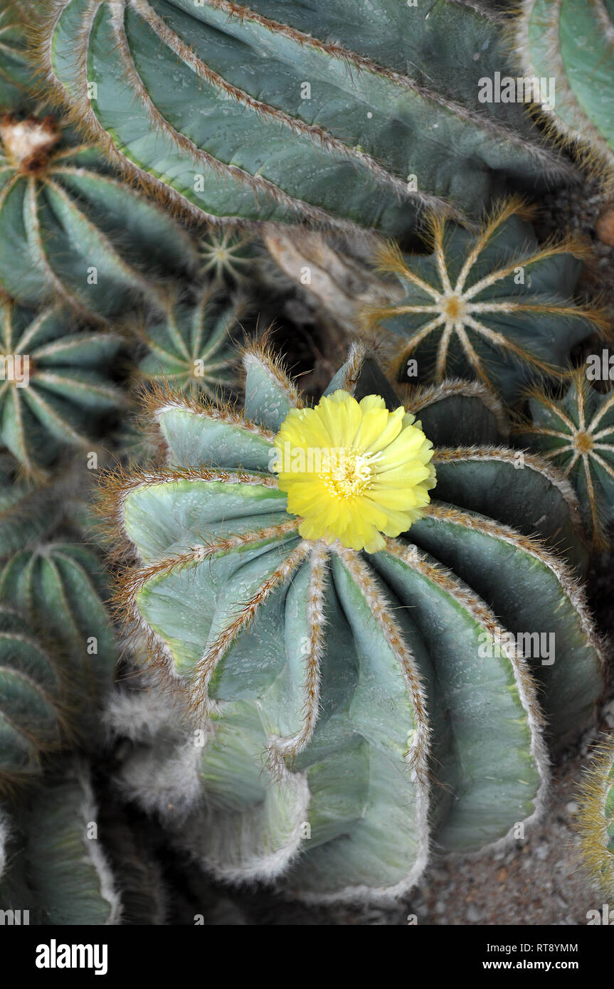 Blooming cactus with yellow flower on the top, selective focus - Stock Image