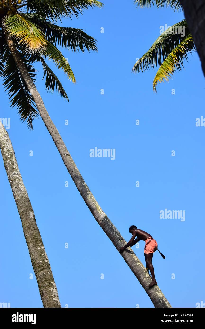 Toddy Tapping, Coconut Tree, Varkala, Kerala, India - Stock Image