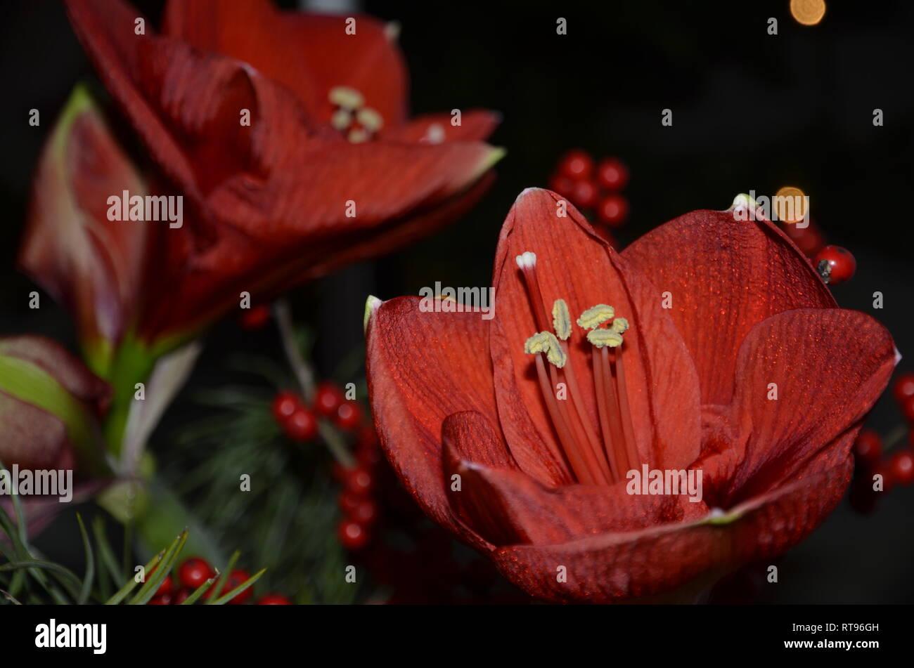Amaryllis - Stock Image