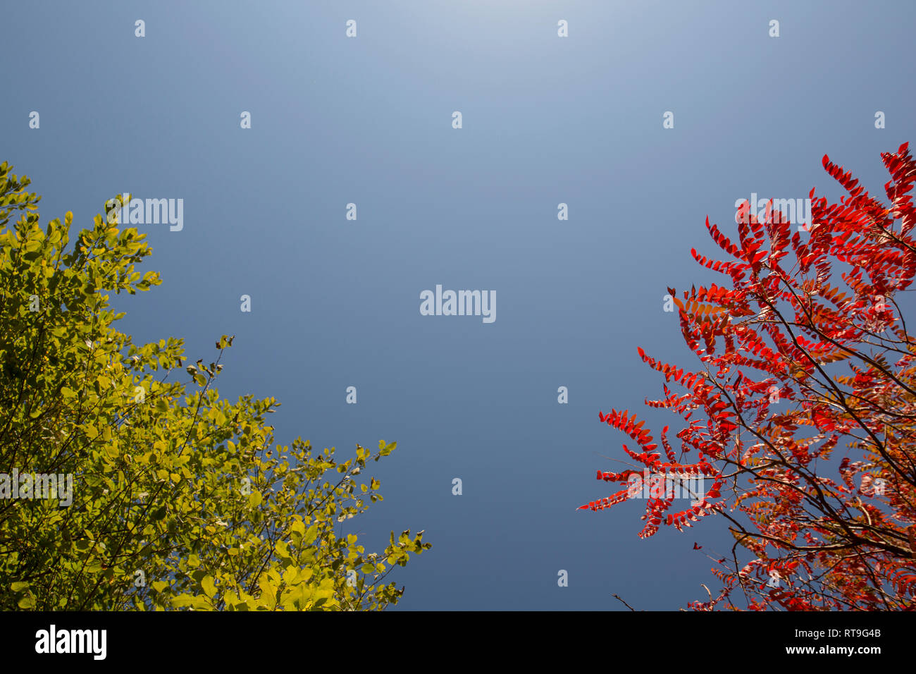 Tree with green summer foliage and tree with red autumn foliage against blue sky - Stock Image