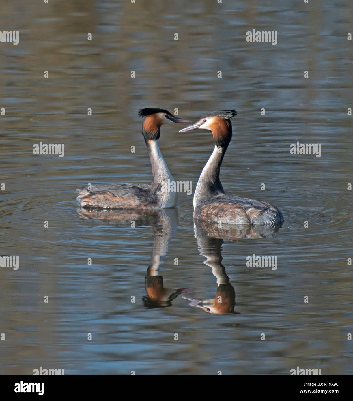Great Crested Grebes, Podiceps, cristatus - Stock Image