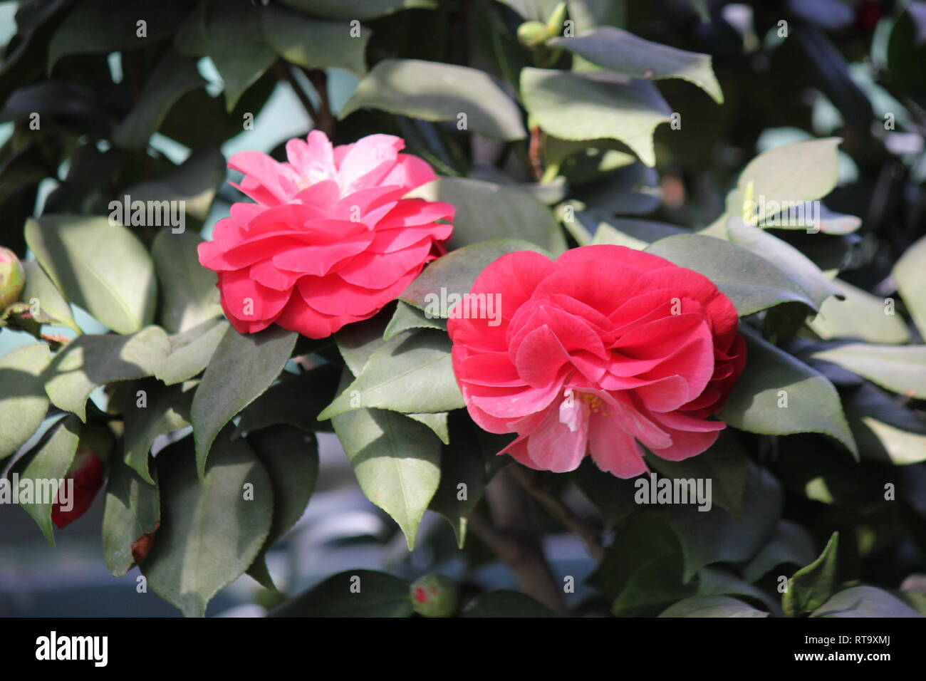 Beautiful Perfect And Pink Camellia Japonica Rose Of Winter