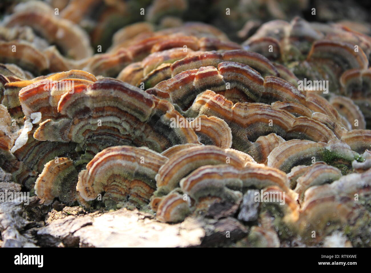 Beautiful cultivated Trametes versicolor, turkey tail mushroom fungi plant at the Garfield Park Conservatory in Chicago, Illinois. - Stock Image