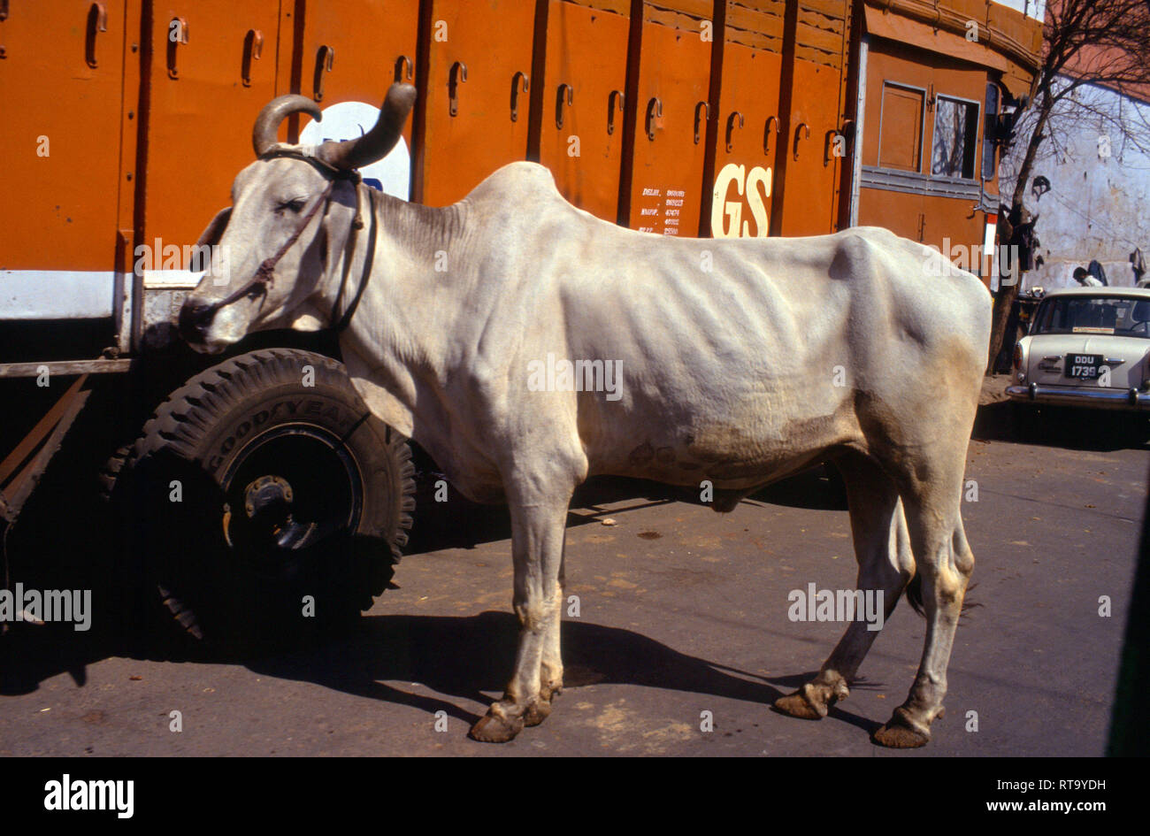 sacred cow, Hindu, religion, Hinduism, bull, tied to truck, Delhi, India, - Stock Image
