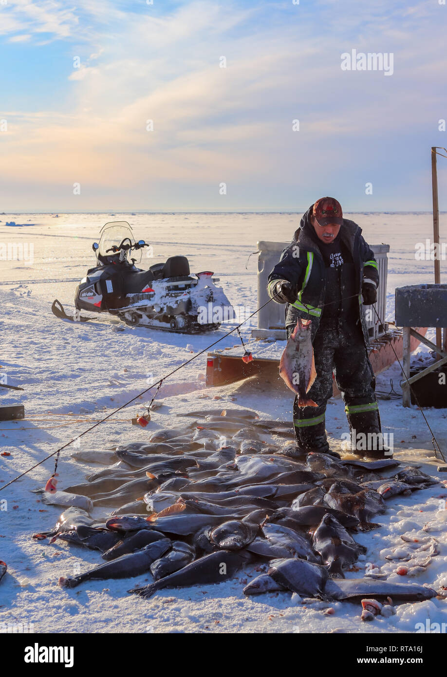 inuit man stands over his haul - Stock Image
