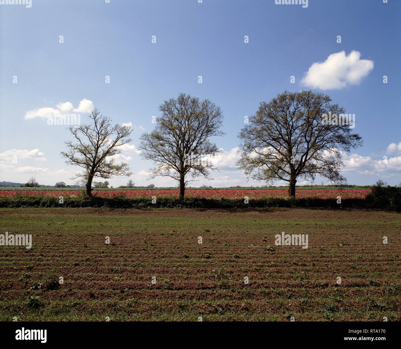 UK. England. Somerset. Agriculture. Ploughed field with row of trees. - Stock Image