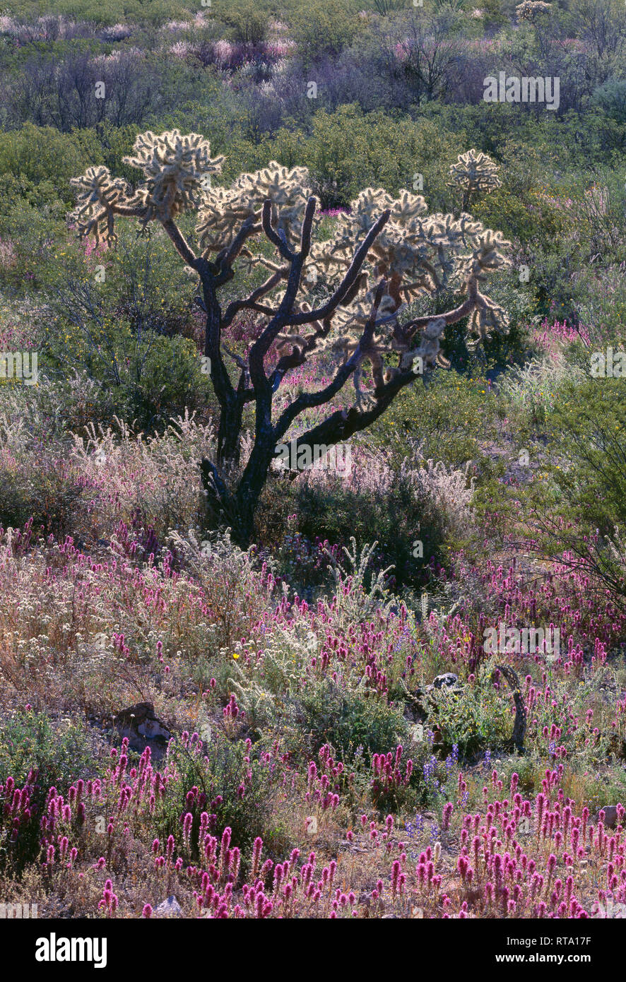 USA, Arizona, Organ Pipe Cactus National Monument, Chain-fruit cholla and owl clover glow in morning sun; Puerto Blanco Mountains. - Stock Image