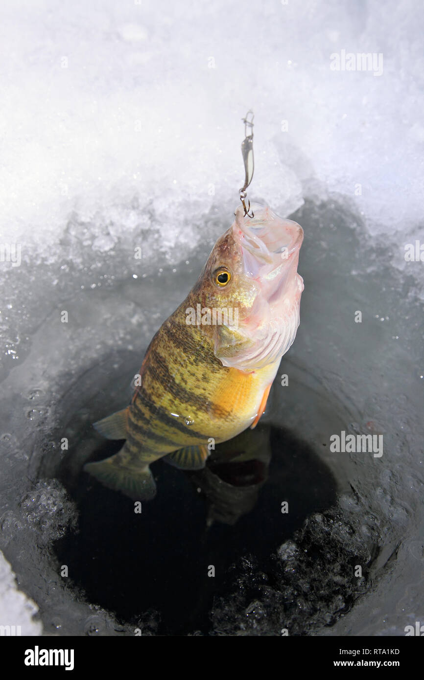 Yellow perch being caught in an ice hole with lure in mouth
