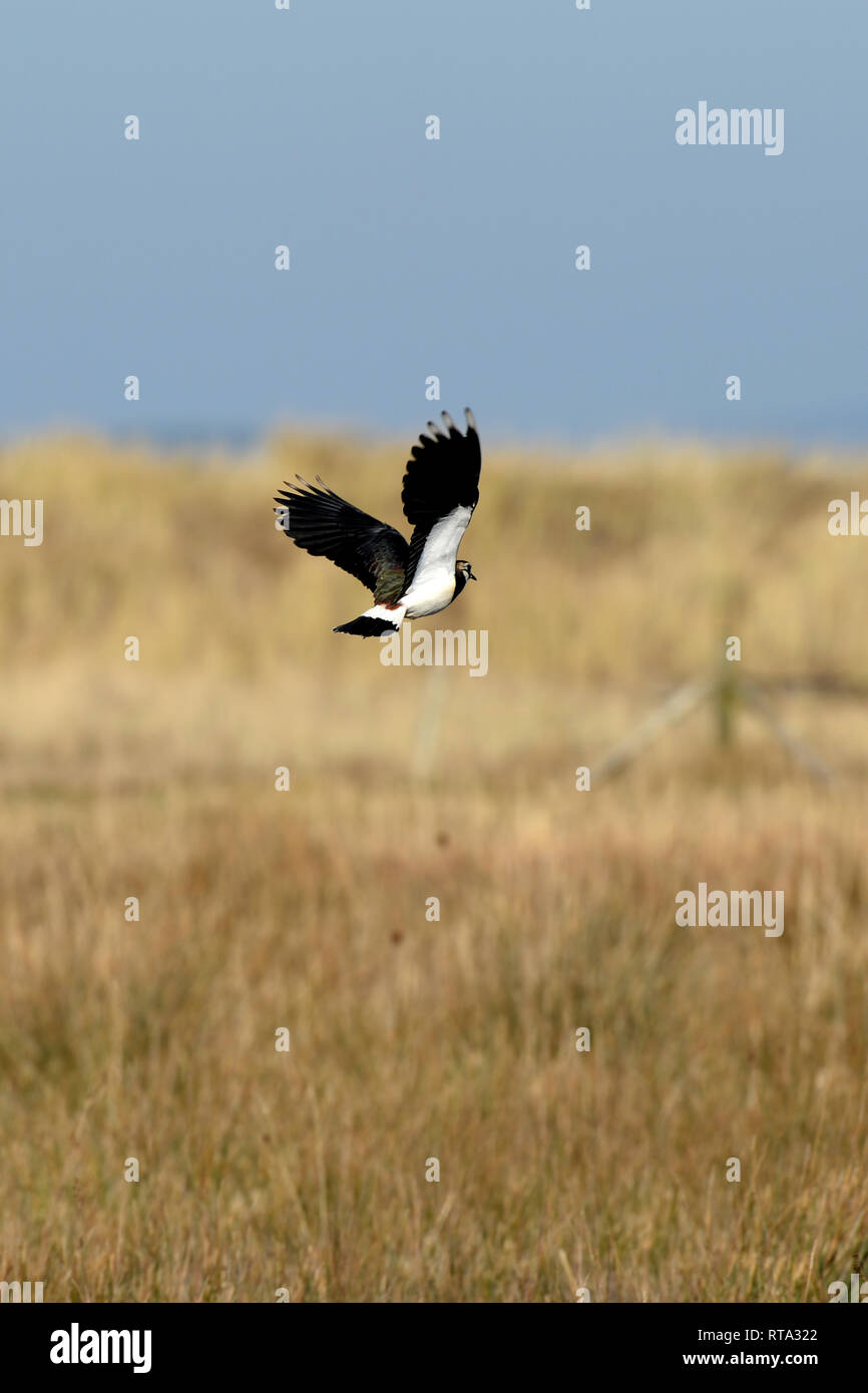 Northern Lapwing flying low over grassland over dune slack. This plover also known as a peewit, as its call describes is a protected species. - Stock Image