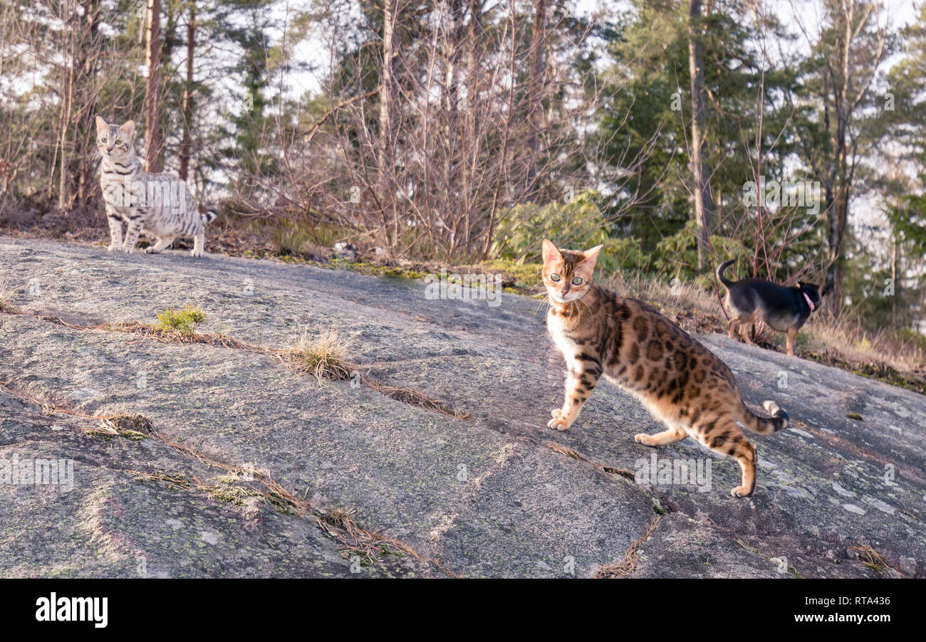 Group of family pets consisting of two Bengal cats and a Chihuahua having their first joint spring outing outdoors Stock Photo