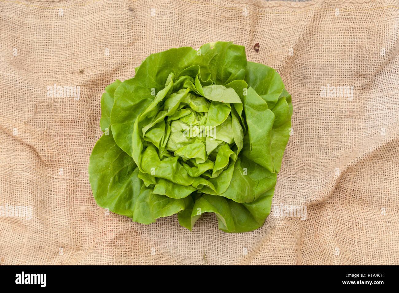 Ein Kopfsalat liegt auf Jute - Stock Image