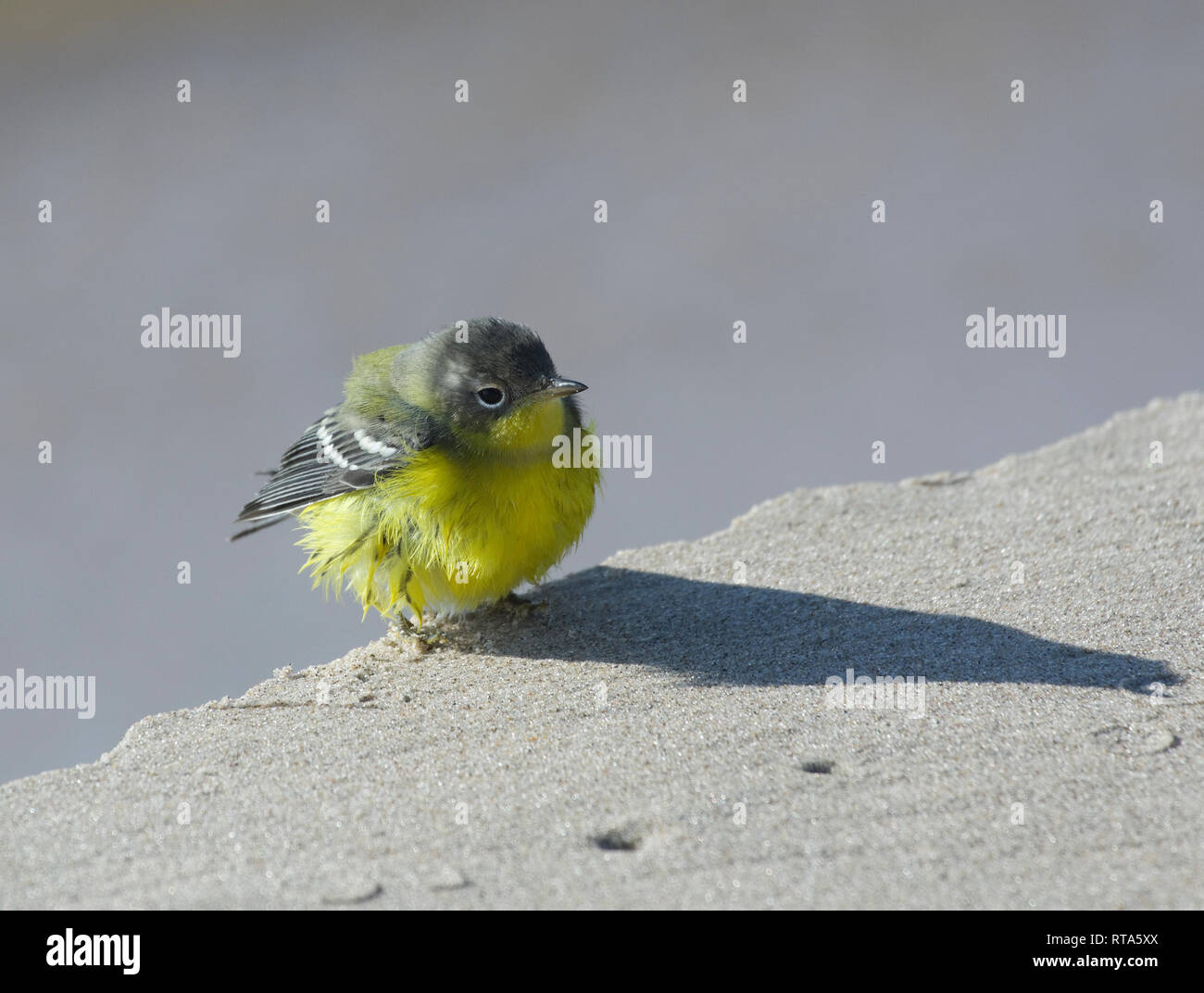 Lesser Goldfinch, Spinus psaltria on Lake Michigan beach, not native to area may have blown in with storm. - Stock Image