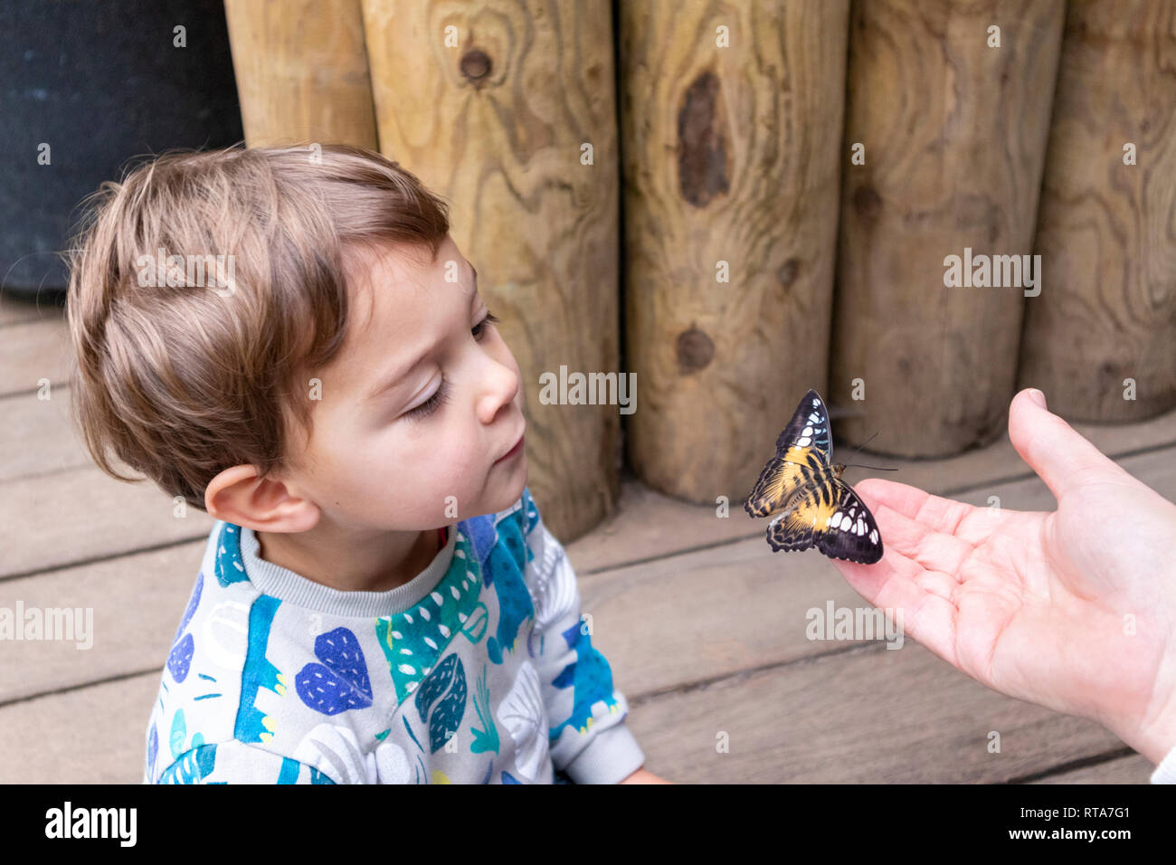 A two year old boy admiring a butterfly at Tropical World, Leeds, Yorkshire UK - Stock Image