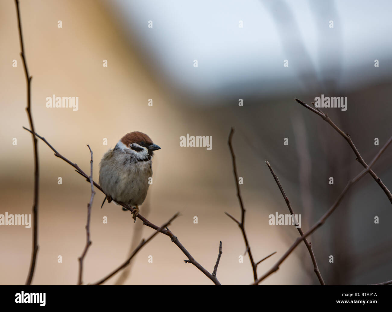 A beautiful little sparrow chirp at the branch, and srkuke on the verge - Stock Image