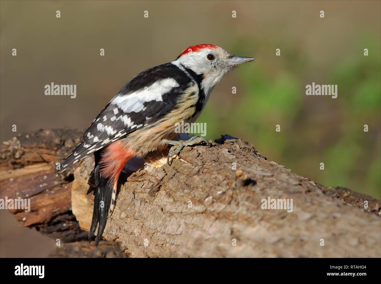 Middle spotted woodpecker sitting on a trunk Stock Photo