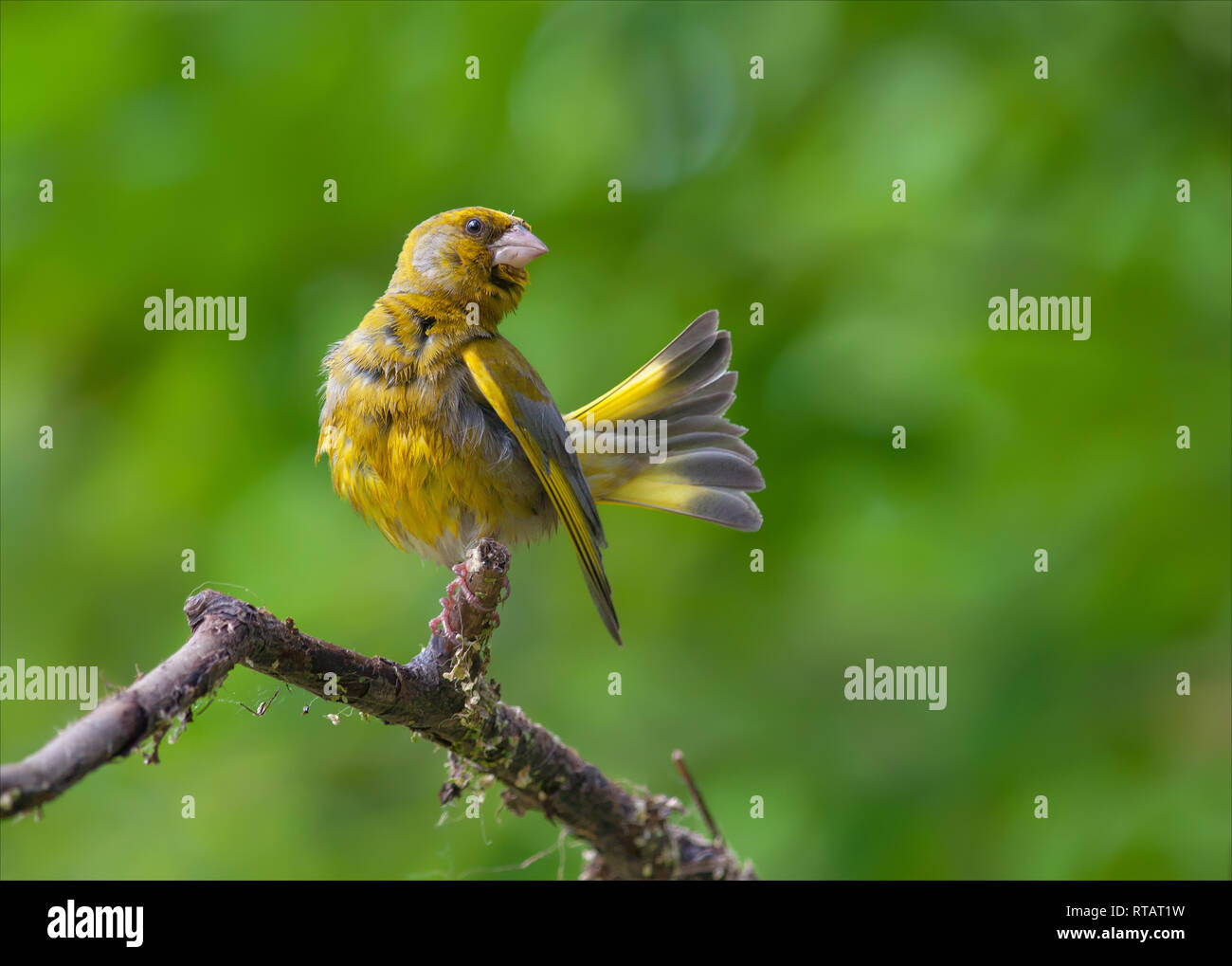 European greenfinch combing feathers aftter bathing in pond - Stock Image