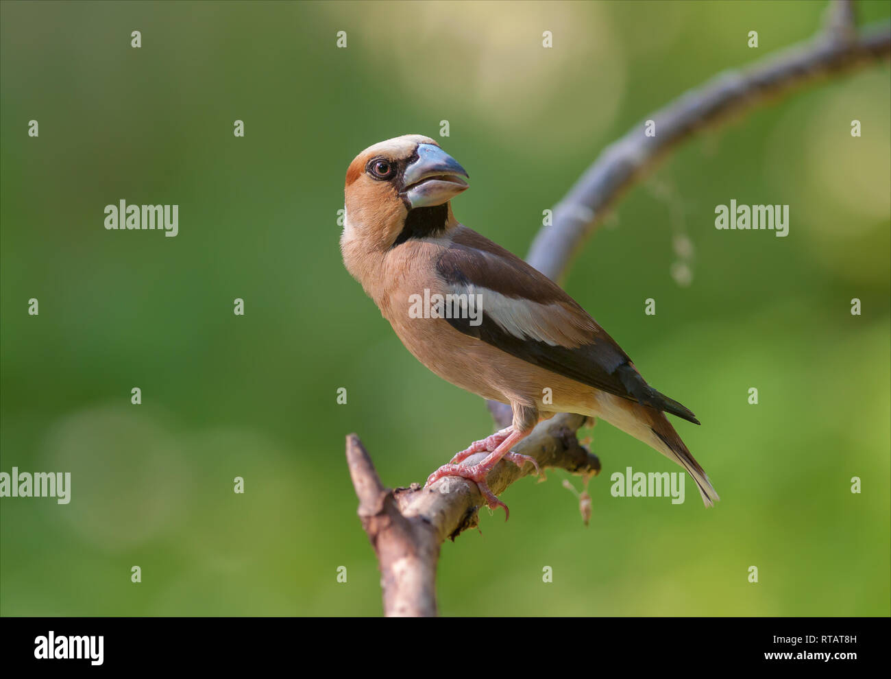 Hawfinch posing at small branch near a water pond - Stock Image
