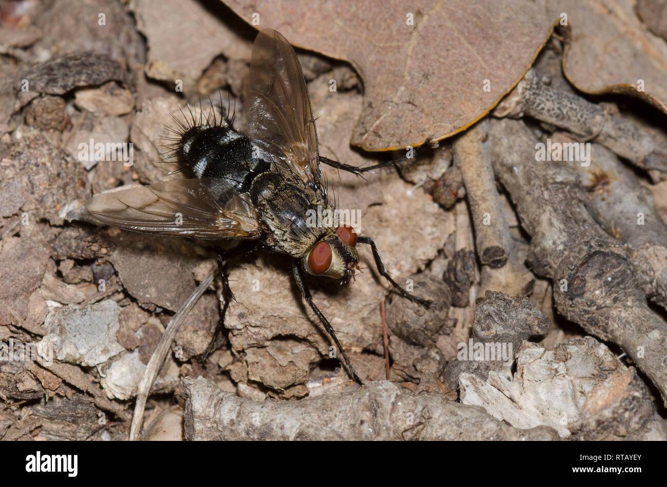 Tachinid Fly, Family Tachinidae, male Stock Photo